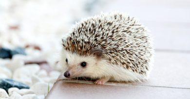 nejlepší zvíře do bytu je ježek