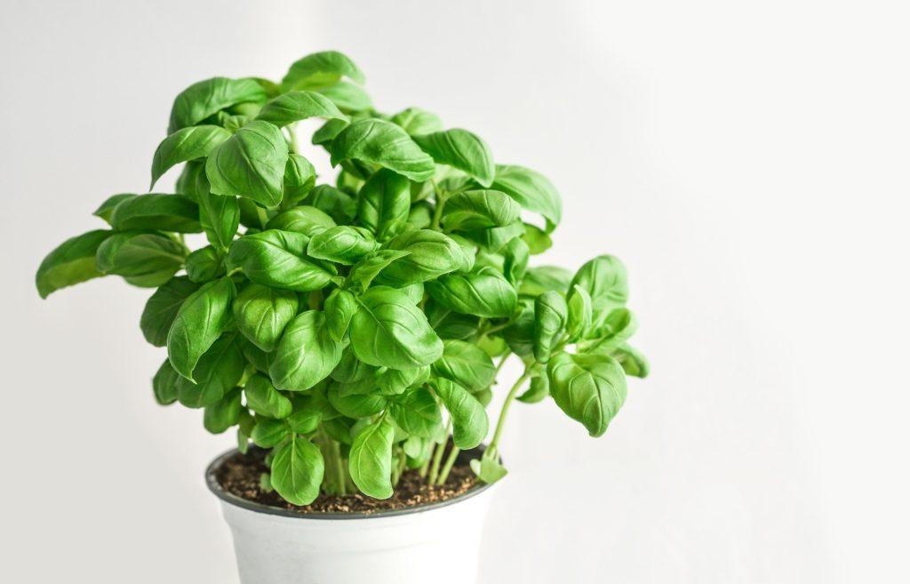 byliny bazalka